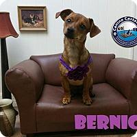 Adopt A Pet :: Bernice - Arcadia, FL