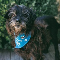 Adopt A Pet :: Smokey Terrier - Pacific Grove, CA