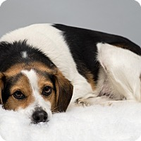 Adopt A Pet :: Callie - Westfield, NY