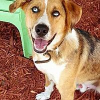 Adopt A Pet :: Baloo - Sarasota, FL