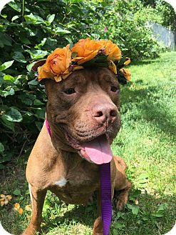 American Pit Bull Terrier Mix Dog for adoption in Anchorage, Alaska - Lily