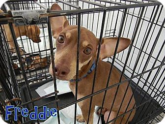 Italian Greyhound Mix Dog for adoption in Pensacola, Florida - Freddie