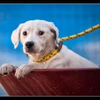 Adopt A Pet :: Scout - Wickenburg, AZ