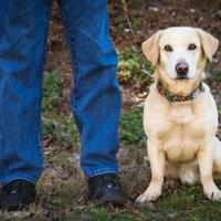 Labrador Retriever Mix Dog for adoption in Clarkesville, Georgia - Max
