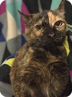 Domestic Shorthair Cat for adoption in University Park, Illinois - Tara