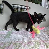 Adopt A Pet :: Kerwin-Purrsonality+ - Arlington, VA