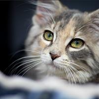 Adopt A Pet :: Sierra (GT) - Little Falls, NJ