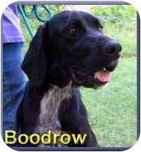 Labrador Retriever Mix Dog for adoption in Aldie, Virginia - Boodrow