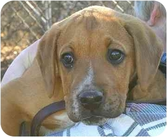 Boxer/Beagle Mix Puppy for adoption in Ladysmith, Wisconsin - Ike