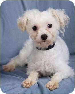 Maltese Dog for adoption in Anna, Illinois - WILLIS