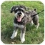 Photo 2 - Miniature Schnauzer/Miniature Poodle Mix Dog for adoption in Worcester, Massachusetts - Rocco