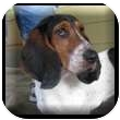 Basset Hound Dog for adoption in Marietta, Georgia - Miley