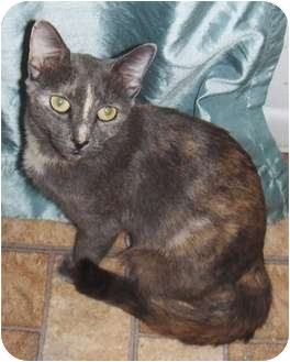 Oriental Cat for adoption in Chandler, Arizona - Ciara