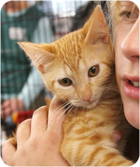 Domestic Shorthair Kitten for adoption in Tillamook, Oregon - Charolotte