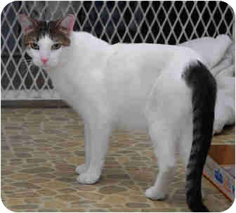 Domestic Shorthair Cat for adoption in New York, New York - Tonto