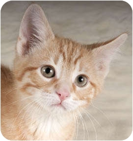 Domestic Shorthair Kitten for adoption in Chicago, Illinois - Carlos & Camille