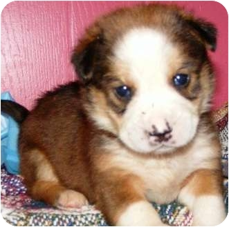 Australian Shepherd/Border Collie Mix Puppy for adoption in Oswego, Illinois - I'M ADOPTED Hansel Love