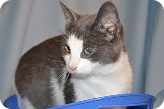 American Shorthair Cat for adoption in Bedford, Virginia - Dora