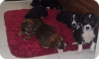 Hound (Unknown Type)/Retriever (Unknown Type) Mix Puppy for adoption in Monroe, New Jersey - Flight Volunteers needed