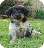 Sheltie, Shetland Sheepdog/Australian Cattle Dog Mix Puppy for adoption in Washington, D.C. - Maui