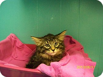 Domestic Shorthair Kitten for adoption in Dover, Ohio - Yackey
