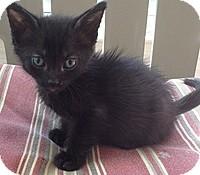 Domestic Shorthair Kitten for adoption in Tampa, Florida - Juno