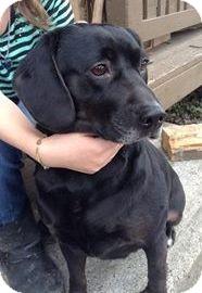 Labrador Retriever/Beagle Mix Dog for adoption in Roslyn, Washington - Emma
