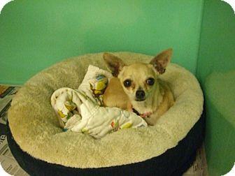 Chihuahua Mix Dog for adoption in Fair Oaks Ranch, Texas - Sugar