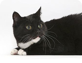 Domestic Shorthair Cat for adoption in Yorba Linda, California - Mama