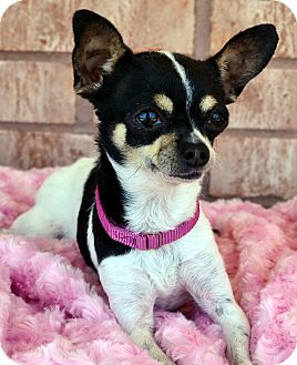 Chihuahua Dog for adoption in Bridgeton, Missouri - Tink-Adoption pending