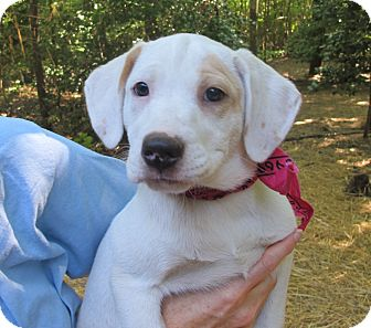 Dalmatian/Labrador Retriever Mix Puppy for adoption in Allentown, Pennsylvania - Ruby