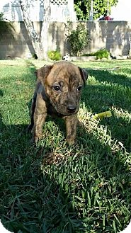 Boxer Mix Puppy for adoption in Rancho Cucamonga, California - Tank