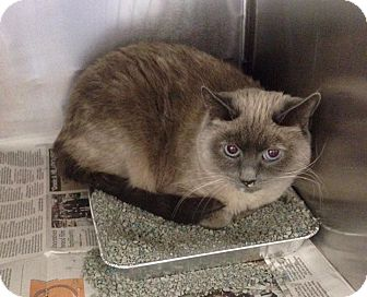 Burmese Cat for adoption in Bartlett, Illinois - Tali