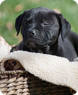 Labrador Retriever Mix Puppy for adoption in Salem, Massachusetts - Daryl