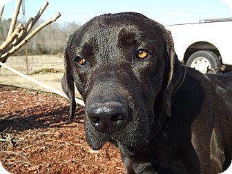 Labrador Retriever Mix Dog for adoption in Thomaston, Georgia - Solomon