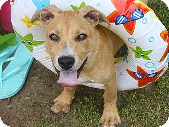 Labrador Retriever Mix Puppy for adoption in Darlington, South Carolina - Skittles
