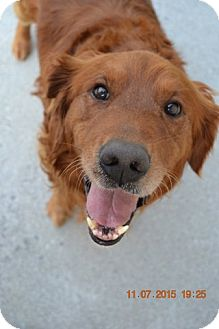 Golden Retriever Mix Dog for adoption in Knoxville, Tennessee - Fletcher