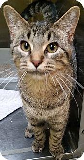 Domestic Shorthair Kitten for adoption in Adrian, Michigan - Maizey