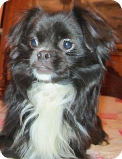 Pomeranian/Japanese Chin Mix Dog for adoption in Waldron, Arkansas - WYETH