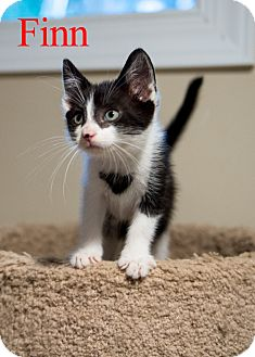 Domestic Shorthair Cat for adoption in Baltimore, Maryland - Finn