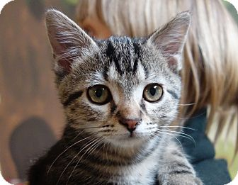 Domestic Shorthair Cat for adoption in Greenfield, Indiana - Uno
