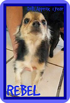 Chihuahua Mix Dog for adoption in Jersey City, New Jersey - REBEL