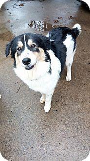 Great Pyrenees/Australian Shepherd Mix Dog for adoption in Kiowa, Oklahoma - Heidi