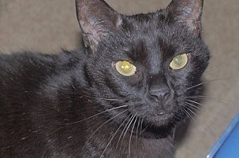 Domestic Shorthair Cat for adoption in Woodland Hills, California - Gracie 2