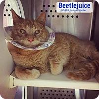 Adopt A Pet :: Beetlejuice - Baltimore, MD