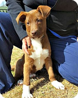 Border Collie Mix Puppy for adoption in McKinney, Texas - Chase