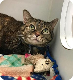 Domestic Shorthair Cat for adoption in Franklin, Indiana - Babe