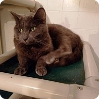 Domestic Shorthair Cat for adoption in Geneseo, Illinois - Gimli