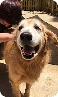 Golden Retriever Dog for adoption in New Canaan, Connecticut - Bea