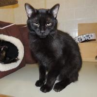 Adopt A Pet :: Ebony - Westville, IN